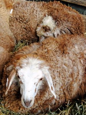 Pile_o_sheep