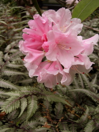Mutti_rhodie_ferns
