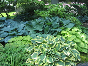 Muttis_hostas